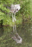 Grey wolf and pup with reflection in lake Stock Photography