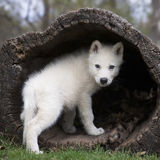 Grey wolf pup Stock Photography