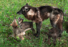 Grey Wolf Pups (Canis lupus) Beg Mother Royalty Free Stock Photos
