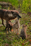 Grey Wolf Pups (Canis lupus) Licks Mother While Another Pup Watc Stock Photos