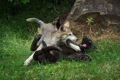 Grey Wolf Pups Canis lupus Rough Play Royalty Free Stock Photography