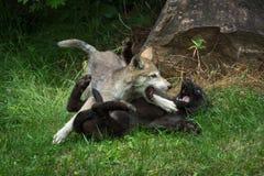 Grey Wolf Pups Canis-wolfszweer Ruw Spel royalty-vrije stock fotografie