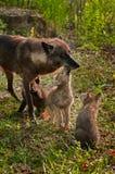 Grey Wolf Pups (Canislupus) aningar fostrar medan en annan valp Watc Arkivfoton