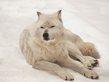 Grey wolf resting Stock Photo