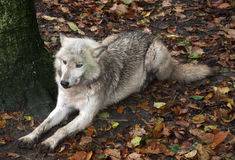 Grey Wolf resting Royalty Free Stock Images