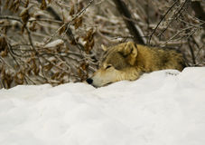 A Grey Wolf resting (Canis lupus).  Stock Photography