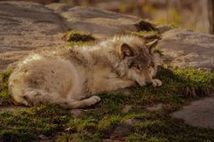 Grey wolf resting in Quebec, Canada. Grey wolf resting in Quebec Royalty Free Stock Photo