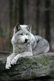 Grey Wolf on rock Royalty Free Stock Photo