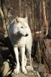 Grey Wolf on rock Stock Images
