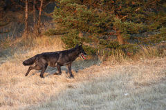 Grey Wolf running Royalty Free Stock Photography
