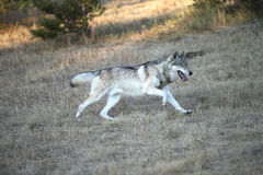 Grey Wolf running. A beautiful North American grey wolf running Stock Image