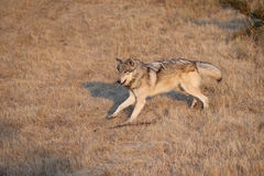 Grey Wolf running Stock Photos
