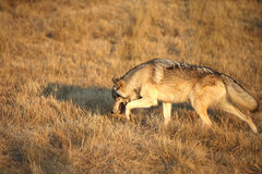 Grey Wolf running Royalty Free Stock Images