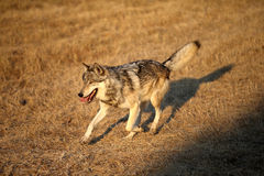Grey Wolf running Royalty Free Stock Photos