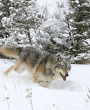 Grey Wolf running in snow Stock Photography