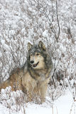 Grey Wolf with sagebrush background Royalty Free Stock Photo