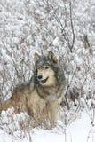 Grey Wolf with sagebrush background royalty free stock photo