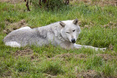 Grey Wolf Royalty Free Stock Photos
