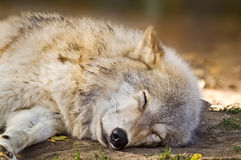 Grey Wolf Sleeping Photos stock