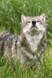Grey Wolf Sniffing the Air Stock Photo