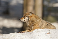 Grey wolf on the snow background Stock Photography