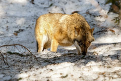 Grey wolf on the snow background Royalty Free Stock Photography