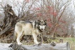 Grey Wolf Standing en un registro con las bayas rojas en fondo Imagen de archivo
