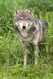 Grey Wolf Standing in erbe alte Fotografia Stock Libera da Diritti