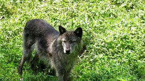 A grey wolf standing in the grass. On the look out stock image