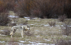 Grey wolf standing in grass with sagebrush. In park Royalty Free Stock Images