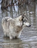 Grey Wolf Standing in a Lake Royalty Free Stock Image
