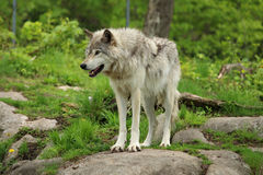 Grey wolf. Standing on a rock in a forest environment Royalty Free Stock Photography