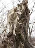 Grey wolf standing on a tree stump Royalty Free Stock Images