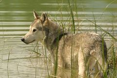 Grey wolf standing in water Stock Photo