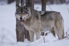 Grey wolf standing in the winter snow close to some trees. stock photography
