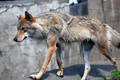 A grey wolf stands on the ground Royalty Free Stock Photos
