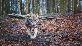 Grey Wolf strolling through the woods. In Germanyn Royalty Free Stock Photos