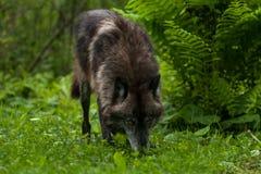 Grey Wolf u. x28; Canis lupus& x29; Atemzüge im Gras Stockbild