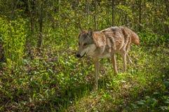 Grey Wolf u. x28; Canis lupus& x29; Läufe durch Bürste Stockbild