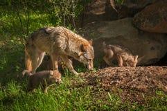 Grey Wolf u. x28; Canis lupus& x29; und Welpen laufen nahe Höhle Stockfoto