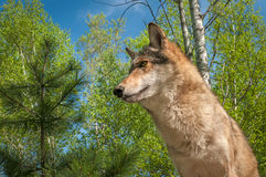 Grey Wolf u. x28; Canis lupus& x29; Von unterhalb Stockbild