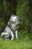 Grey wolf under the fir tree Stock Images