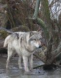 Grey Wolf Wading en el río Fotografía de archivo