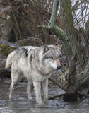 Grey Wolf Wading in Rivier stock fotografie
