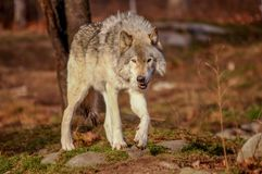 Grey wolf walking in the fall, Quebec, Canada. Grey wolf walking in the fall Stock Photo