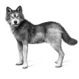Grey wolf on a white background Royalty Free Stock Images