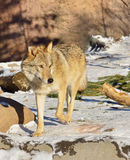 Grey Wolf in winter Stock Photography