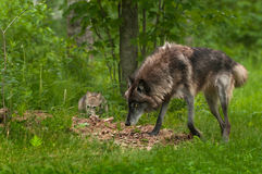 Grey Wolf & x28;Canis lupus& x29; Looks Up from Sniffing Stock Photography