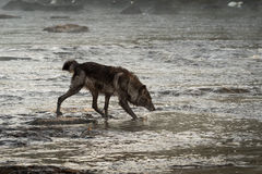 Grey Wolf & x28;Canis lupus& x29; Moves Through Water Head Down Stock Photos