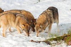Grey Wolf (Canis lupus) pack - captive animal Stock Photo